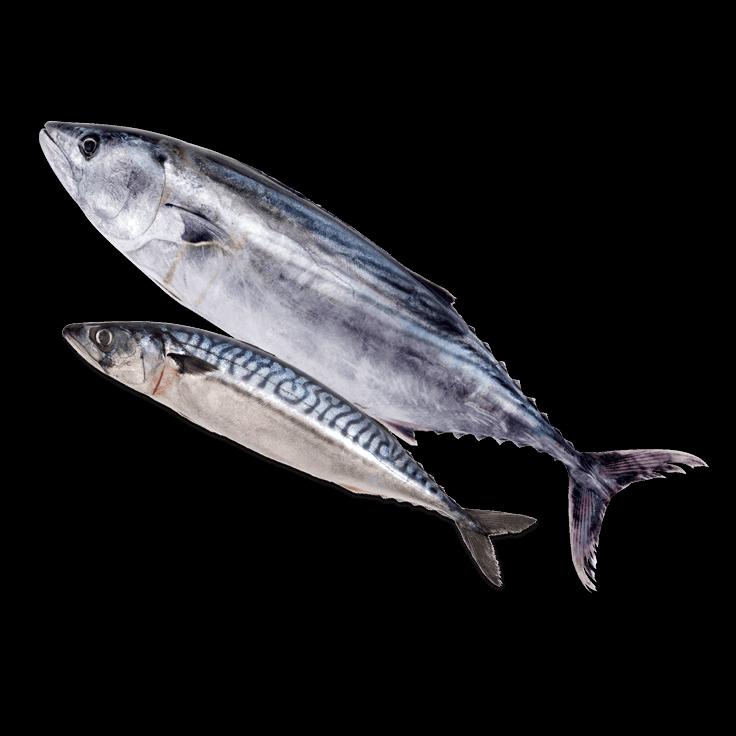 Pescado atún y caballa